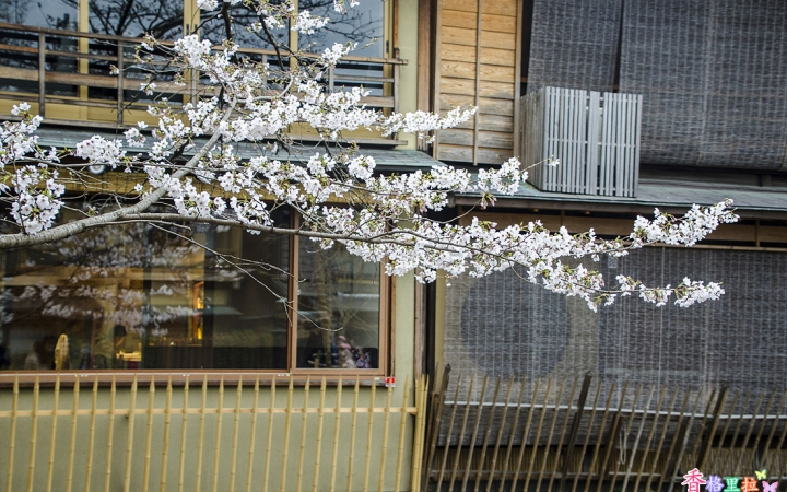 시라가와의 벚꽃
